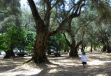 Griffin in an olive grove