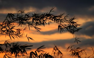 bamboo with sunset, MA