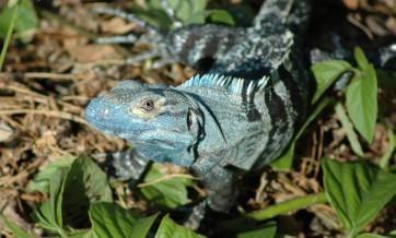 black iguana at house, MA