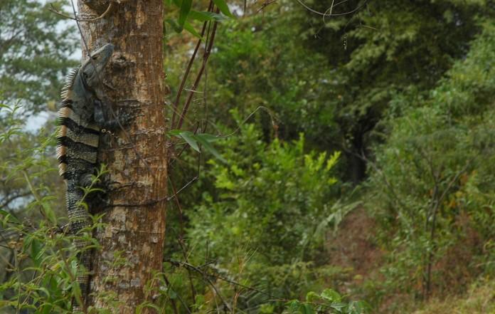 black iguana climbing tree, MA