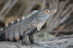 black iguana on beach, MANP