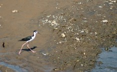 black-necked stilt, Tarcoles 2
