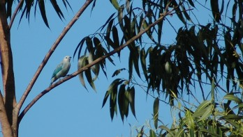 blue-grey tanager, Grecia 3