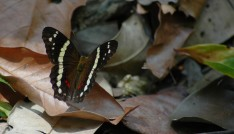 butterfly, Los Chorros 2