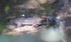 caiman, Titi Canopy