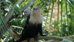 capuchin baby making face, MA
