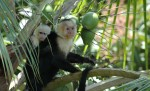 capuchin youth and mother, coconut tree outside house, MA