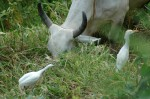 cattle egrets and cow, MA