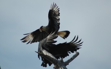 crested caracara and black vulture arguing over perch