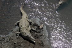 croc on shore, Rio Tarcoles