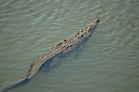 crocodile swimming in Rio Tarcoles