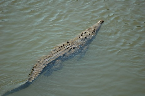 crocodile swimming in Rio Tarcoles