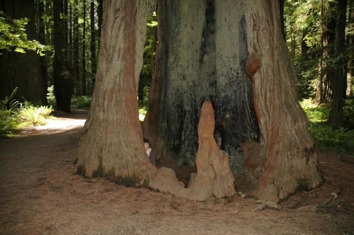 D in fire-hollowed redwood (still living)