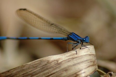 electric blue damselfly