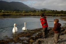 feeding swans, Trafrask
