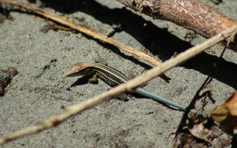 four-striped whiptail, MA
