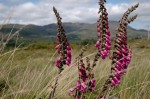 foxglove with mountains, Trafrask