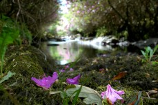 Glengarrif falls with rhodedendron blossoms