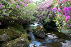 Glengarriff river with rhododendrons