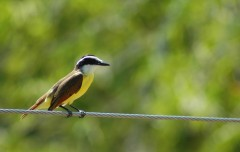 great kiskadee on wire, MA