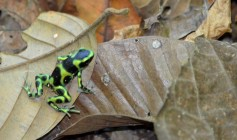 green and black poison dart frog, Titi canopy2