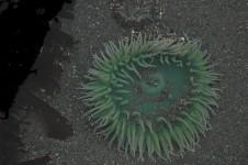 green anemone in tidepool, Trinidad