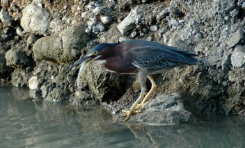 green-backed heron eating huge shrimp, MA