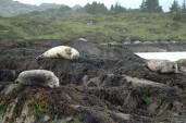 harbor seals, Glengarrif