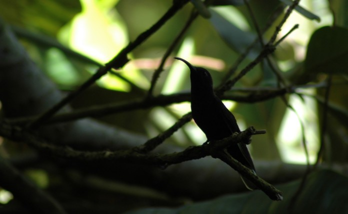 hummingbird in foliage, Bosque de Paz