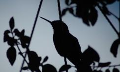 hummingbird silhouette, BDP