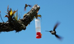 hummingbirds at feeder, Grecia