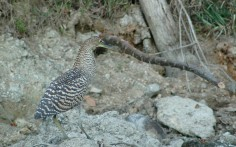 immature bare-throated tiger heron, MA3