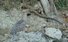 immature bare-throated tiger heron, MA3
