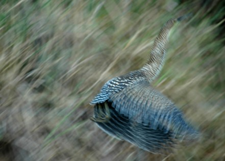 immature tiger heron in flight, MA