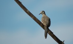 Inca dove on branch, Grecia