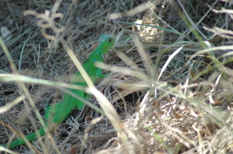 juvenile green iguana, MA