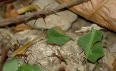 leaf-cutter ants, Rainmaker