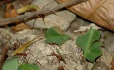 leaf-cutter ants, Rainmaker