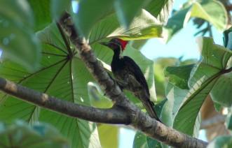 lineated woodpecker, MA