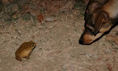 Perrito v. the cane toad 2