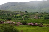 rhododendron covered hillside, Glengarrif