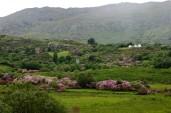 rhododendron covered hillside, Glengarrif