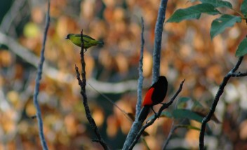 scarlet-rumped tanager and unidentified yellow bird