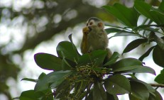squirrel monkey eating, MA