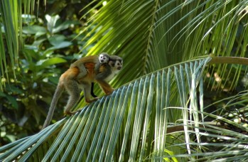 squirrel monkey mother and baby 2