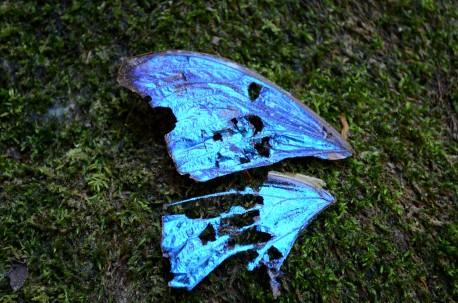 tattered morpho wing, Rainmaker