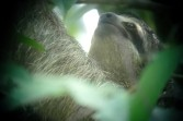 three-toed sloth, MANP