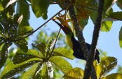 toucan eating fruit, Titi Canopy