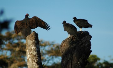 turkey vulture flashing two black vultures