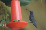 violet sabrewing and female green-crowned brilliant, BDP
